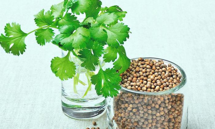Telugu Anti Accidents, Cilantro Seeds, Coriander, Coriander Juice, Curd, Health Benefits, Ladies Pregnancy, Smell-Telugu Health