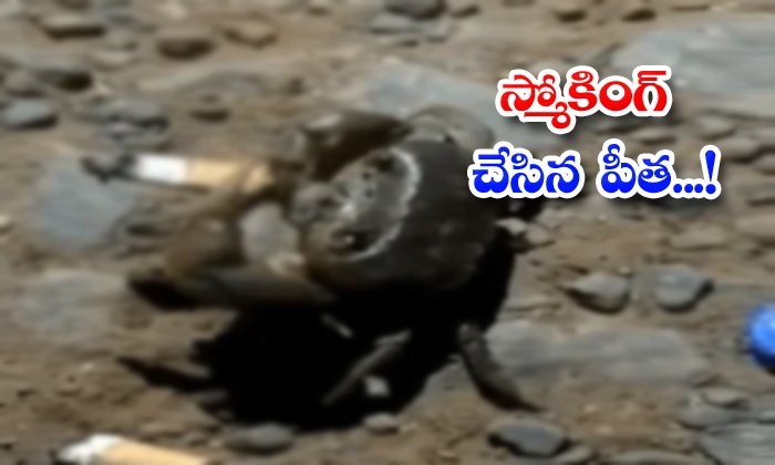 TeluguStop.com - Video Of Crab Smoking Cigarette Goes Viral