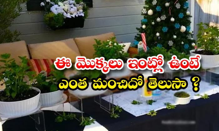 TeluguStop.com - Best Indoor Trees Allover Mint Tree
