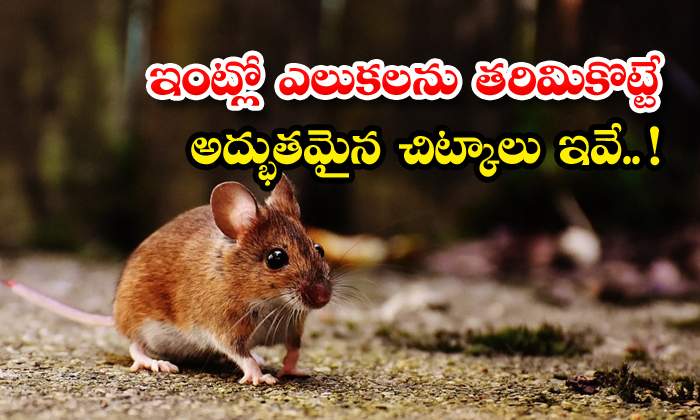 TeluguStop.com - Natural And Effective Home Remedies To Get Rid Of Rats
