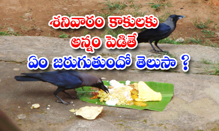 TeluguStop.com - What Will Happens If Saturday Feed To Crows