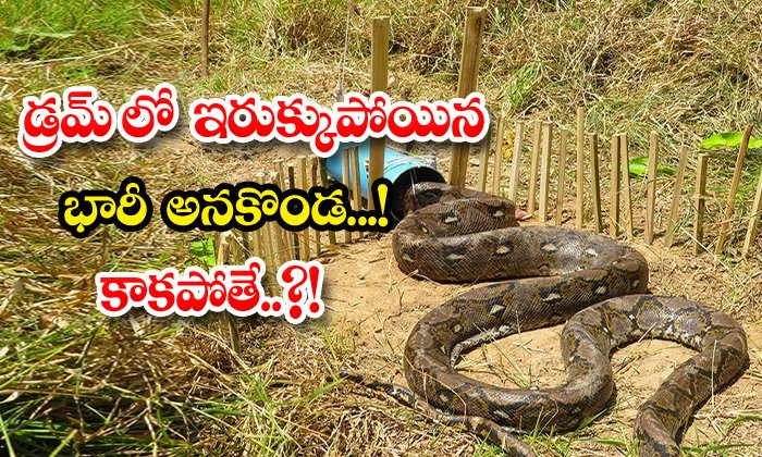TeluguStop.com - Python Trapped Using Pvc Pipe