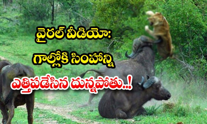 TeluguStop.com - Viral Video The Buffalo That Lifted The Lion Into The Gall