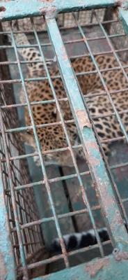 TeluguStop.com - Leopard Strays Into Girls' Hostel In Guwahati, Rescued-Environment/Wildlife News-Telugu Tollywood Photo Image
