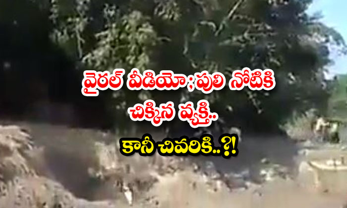 TeluguStop.com - Viral Video A Bengal Tiger Catch Person