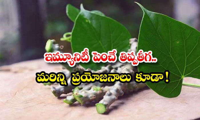 TeluguStop.com -  Wonderful Health Benefits Of Giloy