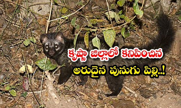 TeluguStop.com - Farmer Find Punugu Pilli In Agricultural Land At Krishna District