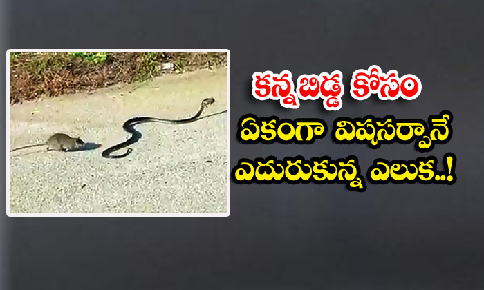 TeluguStop.com - Kanna Is The Rat Who Faced The Poisonous Snake In Unison For The Baby