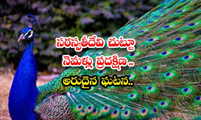 TeluguStop.com - Peacocks Circling Around Goddess Saraswati A Rare Event