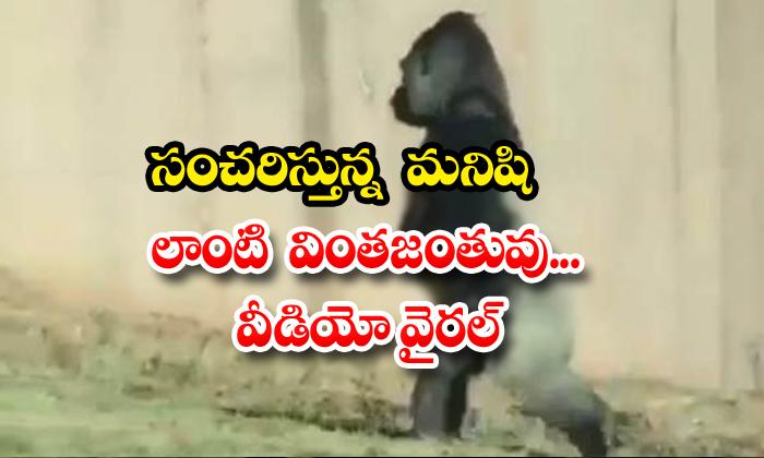 TeluguStop.com - Strange Creature Like A Wandering Man Video Viral