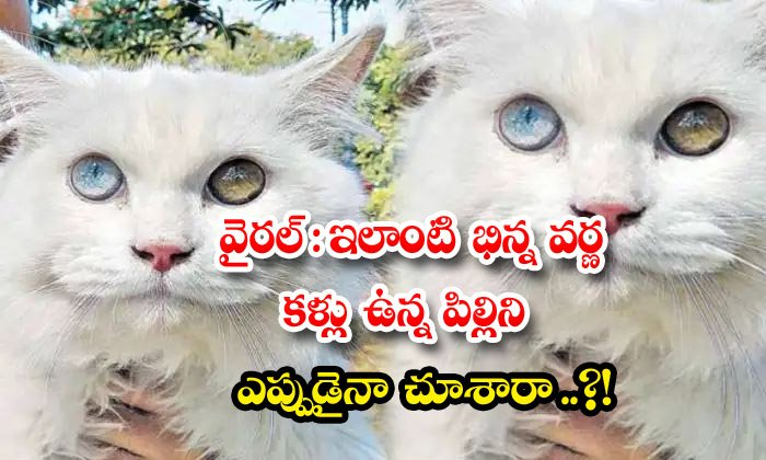TeluguStop.com - Viral Have You Ever Seen A Cat With Such Differ Ent Colored Eyes