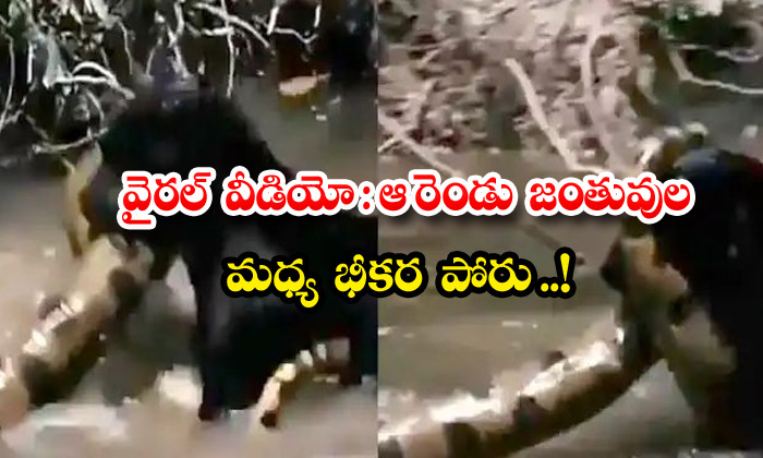 TeluguStop.com - Viral Video A Fierce Fight Between The Two Animals
